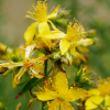 St Johns Wort Anxiety Remedy not Effective?