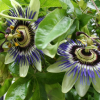 Thumbnail image for Evidence that Passionflower for Anxiety Works