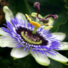 Thumbnail image for How Passionflower Extract for Anxiety Works
